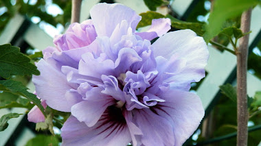 Hibiscus syriacus para el final del verano
