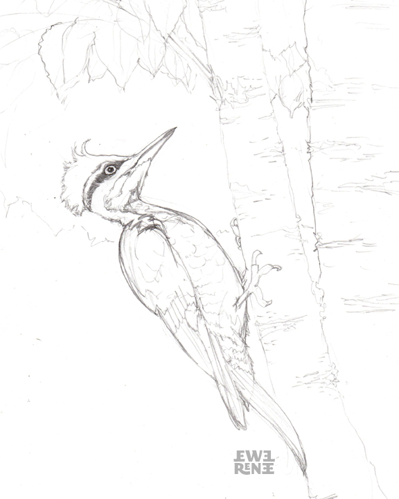 Diagram Of Pileated Woodpecker