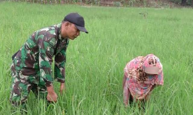 Babinsa koramil 04/LB Lakukan Pendampingan dan Pengecekan Tanaman Padi di Kecamatan Panai Hulu