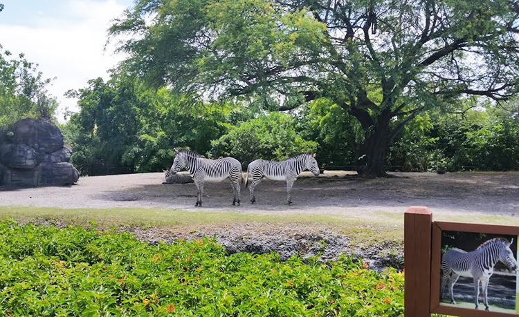 Zèbres au zoo