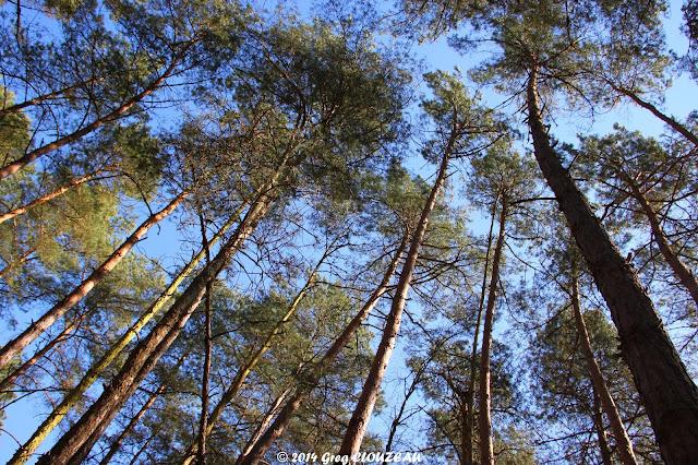 Sous les pins, Bois Rond, Trois Pignons, (C) 2014 Greg Clouzeau