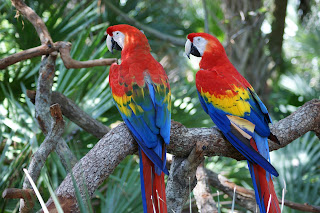 scarlet macaw,scarlet macaw beautiful birds
