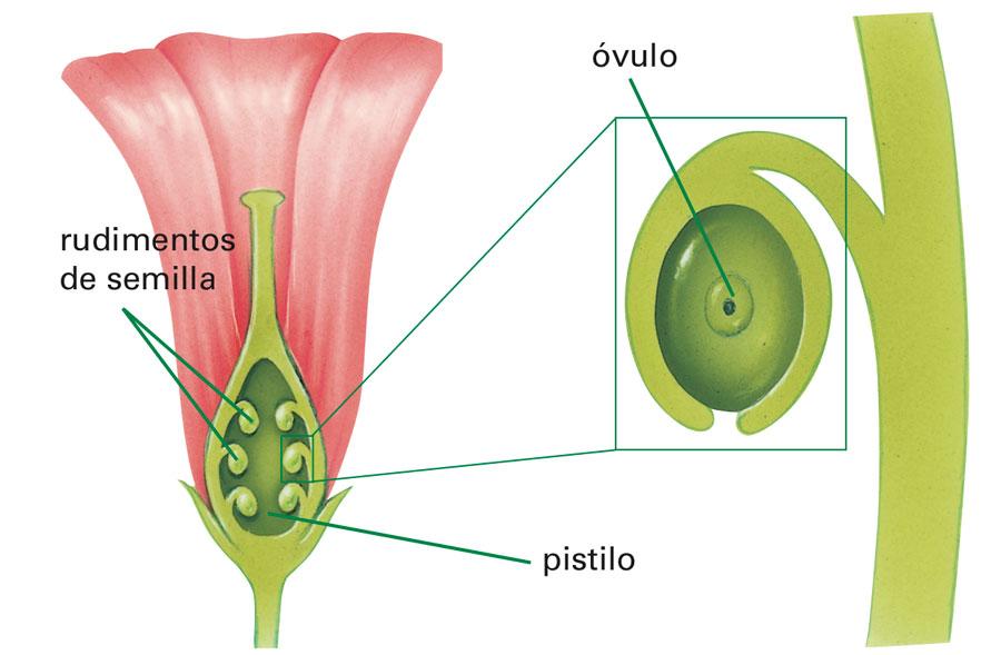 Reproduccion asexual en plantas wikipedia