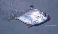 Goldstripe Ponyfish