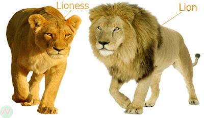 lion, lion and lioness
