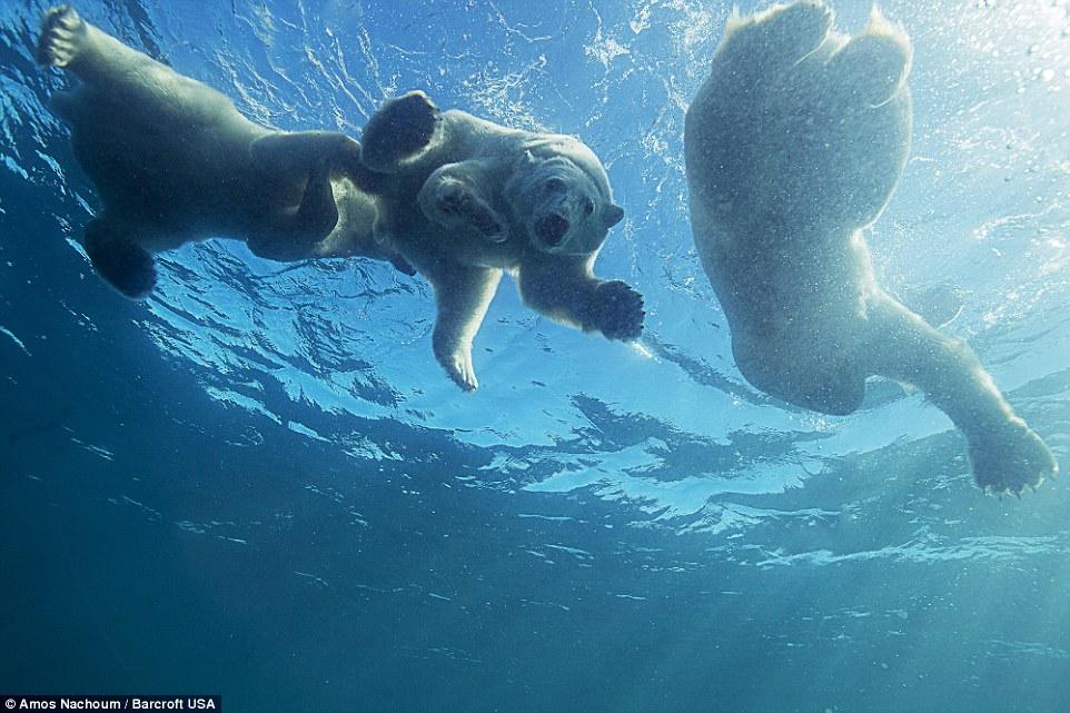 White Wolf Incredible Moment A Mother Polar Bear Teaches