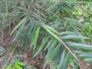 Bois rouge - Cassine d'Orient - Bois d'olive - Cassine orientalis