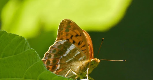 Rushbeds Wood and BBS: Silver-washed Fritillaries and disappearing Tree Sparrows