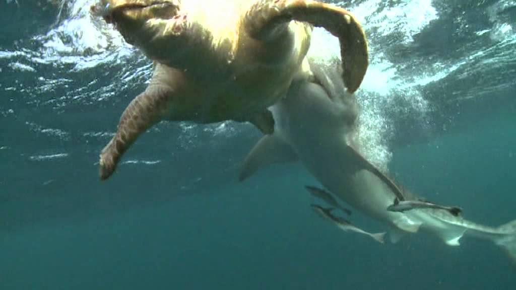 Ocean Adventurer by Dr Gerald Goeden: WHAT DO TIGER SHARKS ...  Ocean Adventure...