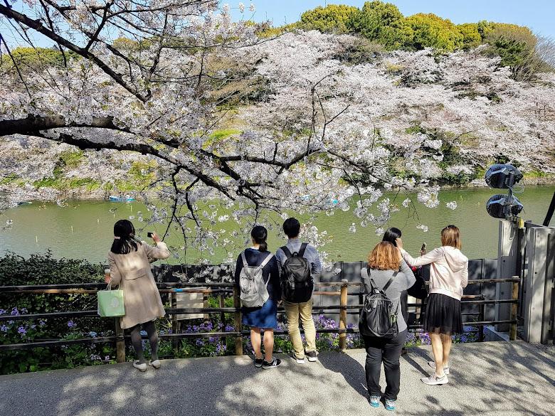 佇足在棵漂亮的櫻花樹下