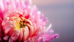 Pink Flower 4K