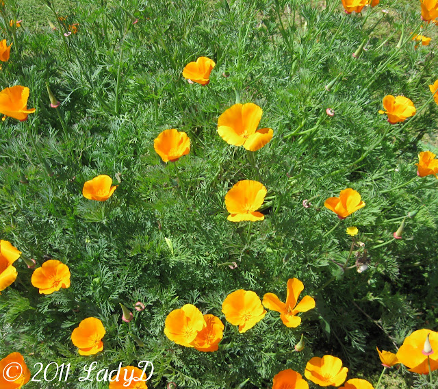 California Poppy in my yard