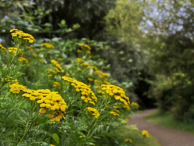 Clump of tansy growing besides a path