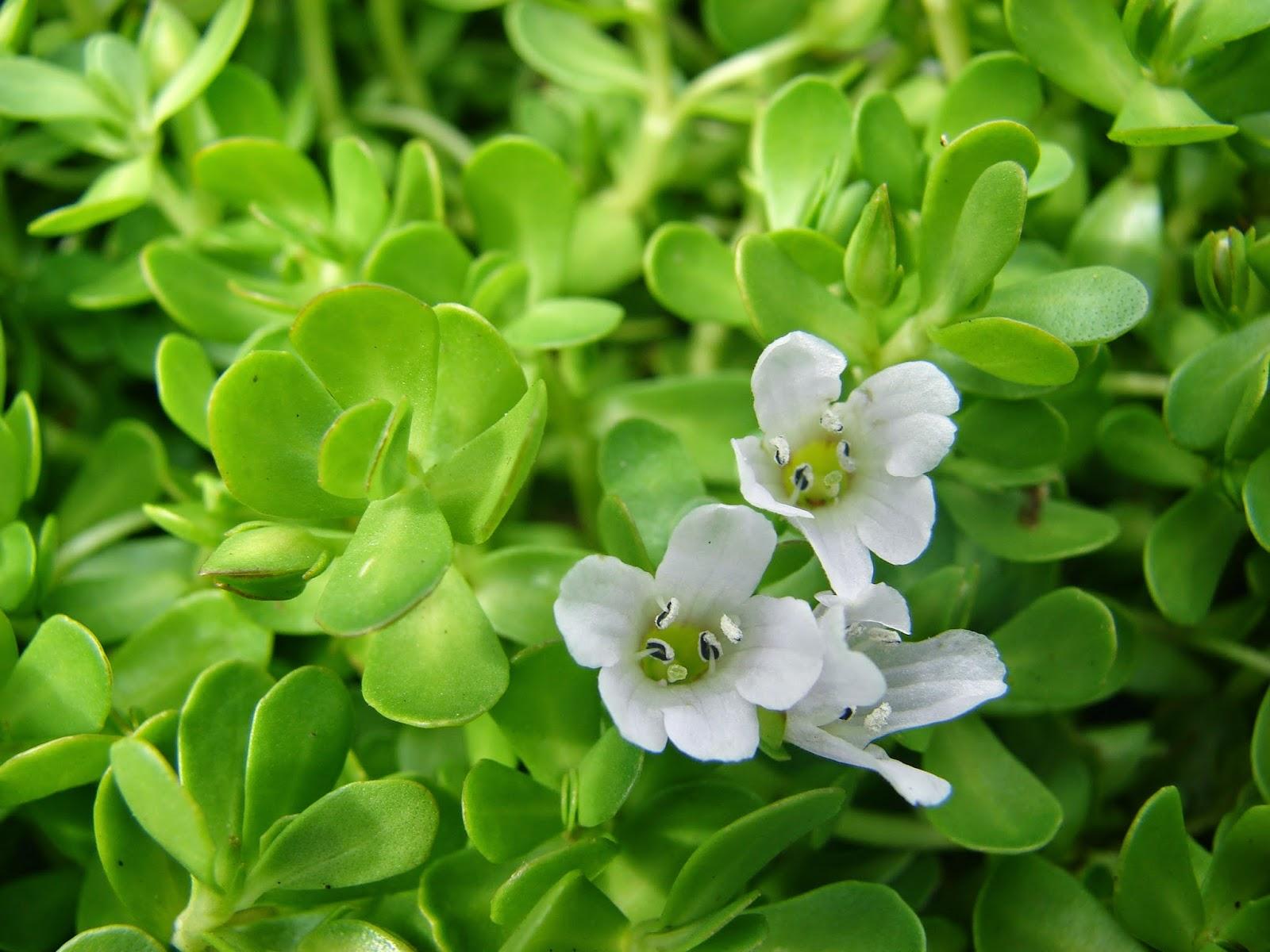 edible water plants
