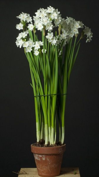 Common ground paperwhites fresh or faux here are a few more pics from my pinterest board paperwhites mightylinksfo