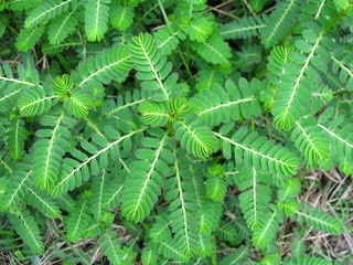 Daun Meniran yg seringkali digolongkan sebagai tumbuhan rumput atau gulma ternyata menyi Aneka Manfaat Daun Meniran untuk Kesehatan