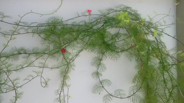 Ipomoea quamoclit (cypress vine)