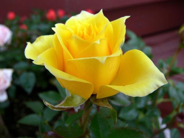hoa hồng vàng tượng trưng cho điều gì