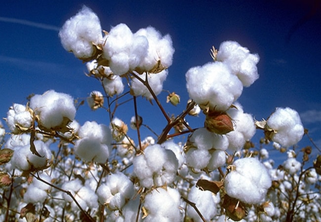 Cotton fiber in plant