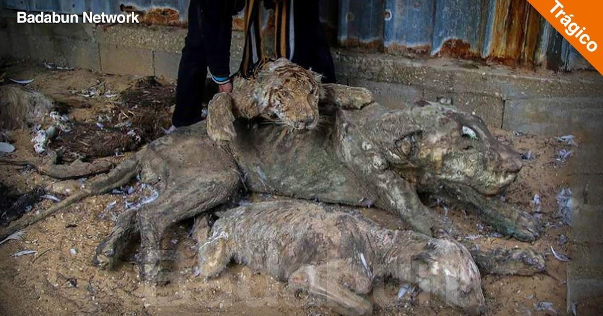 desgarradoras imagenes peor zoologico mundo