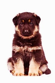 Sign of healthy German Shepherd Puppy
