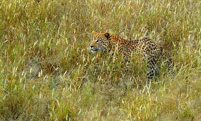 Leopard, beo, cheetah, леопард, leopárd, leopardo, lampart, lepərd, leopardo, leopardi, λεοπάρδαλη, macan tulul, Liopard, pardus, leopardas, luipaard, pantera,