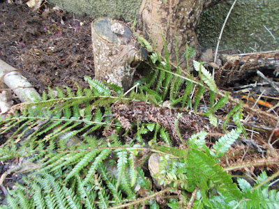 Untidy looking ferns Pruning ferns in spring Green Fingered Blog