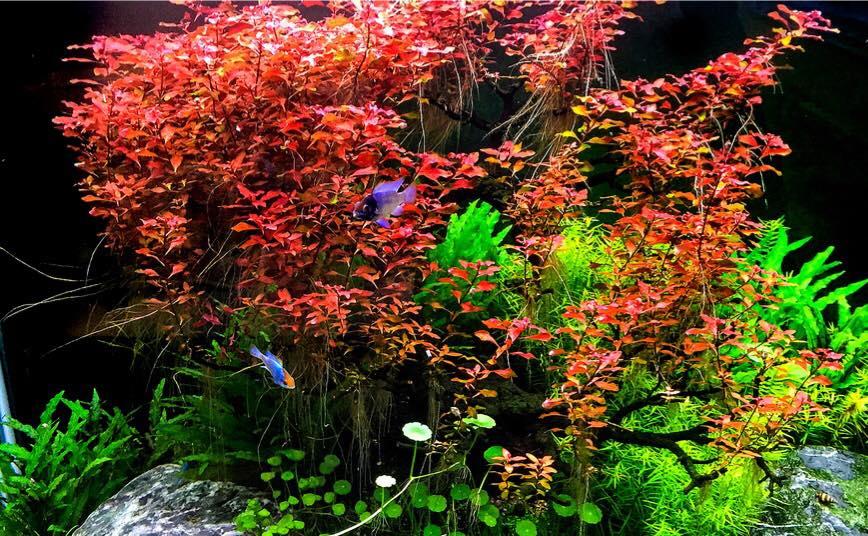 Tân đế tài hồng và rau má dù lùn trong một hồ thủy sinh