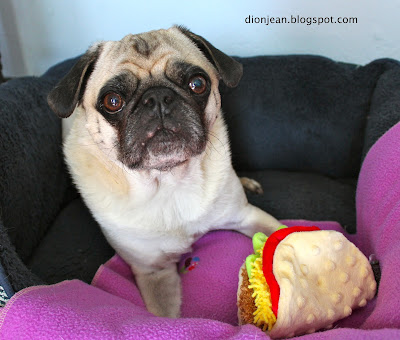 Liam the pug with his taco toy