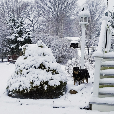 image of Zelda the Black and Tan Mutt in the backyard, standing in the snow