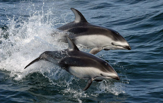 Why Do Dolphins Jump Out Of Water