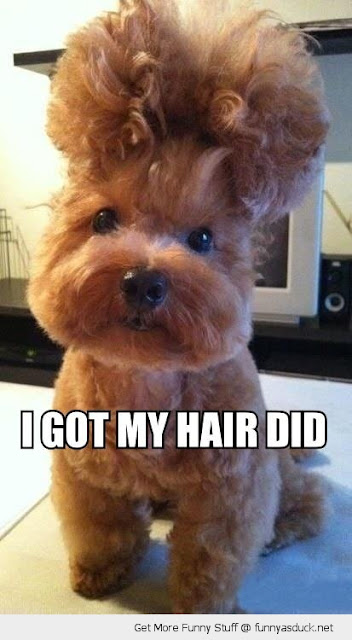 I Got My Hair Did Cute Puppy - Funny animal hairstyles and hilarious Donald Trump hair memes at the #FridayFrivolity link-up this week!  Join the linky party for all things fun, funny, happy & hopeful!
