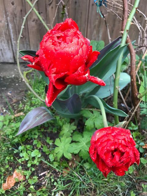 rot gefüllte Tulpe (c) by Joachim Wenk
