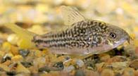Jenis Ikan Corydoras nanus