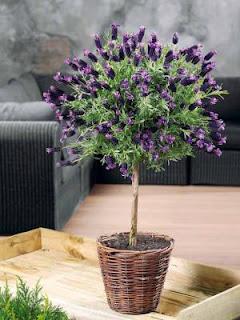 le jardin de pascaline arbuste sur tige. Black Bedroom Furniture Sets. Home Design Ideas