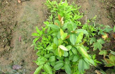 Foto Tanaman Sambung Nyawa Gynura procumbens
