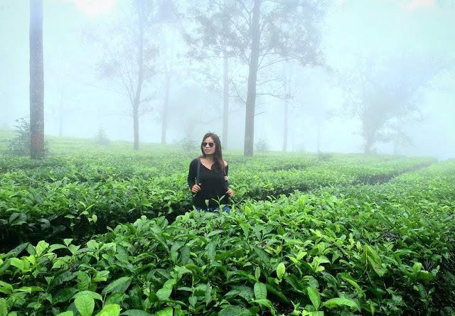 Kebun teh puncak, Bogor