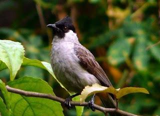 5 Tips Dan Cara Menjinakkan Burung Kutilang Yang Masih Giras Agar Cepat Jinak Paling Lengkap
