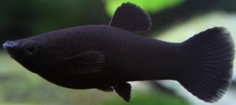 black molly cianjurupdate