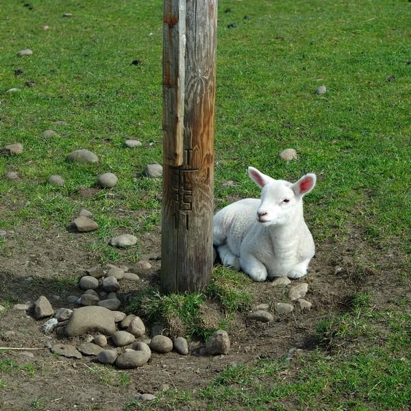 écosse highlands île mull iona mouton