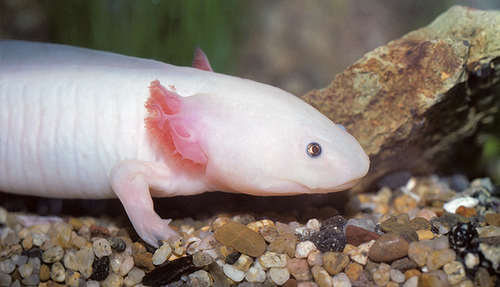 Amphibians: The axolotl