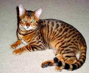 perjalanan: Bengal Cat (Kucing Bengal)