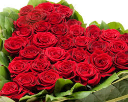 rose images download rose images download roses images free
