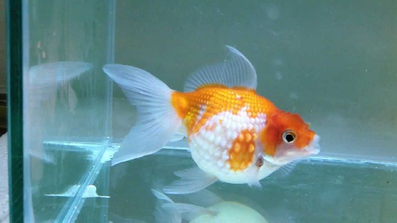 Cara Budidaya Ikan Koki Mutiara Inilah Rahasianya