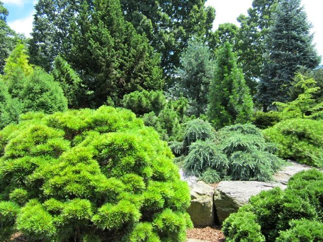 first conifers - photo #4