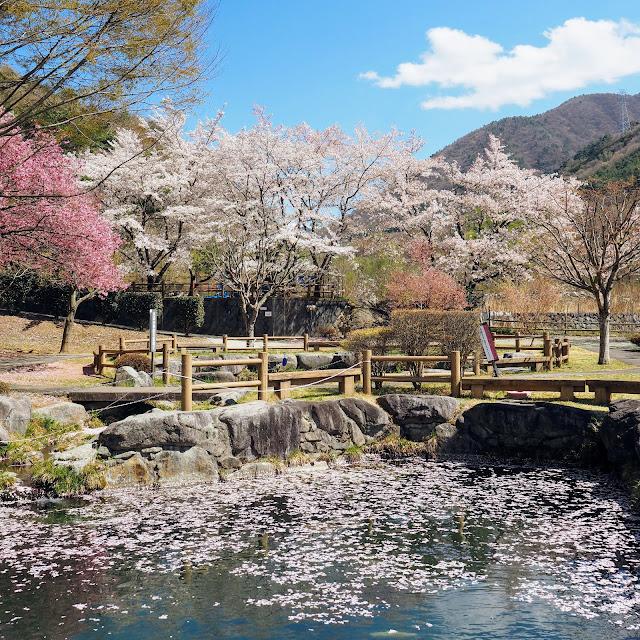 御坂路さくら公園 桜