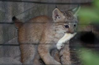 Lucky Lynx Rabbit's Foot.