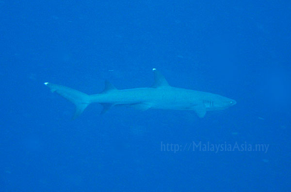 Sipadan White Tip Shark