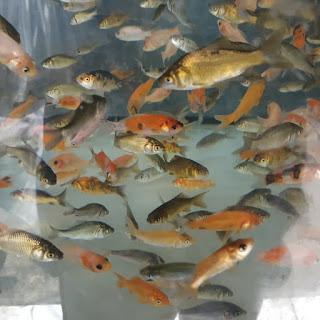 Harga Ikan Mas Literan