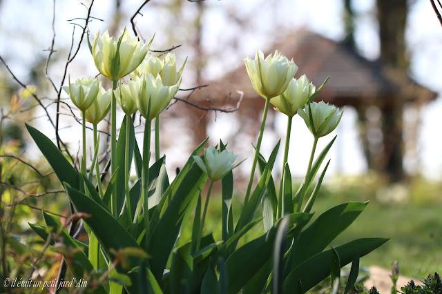 tulipe blanche verte exotic